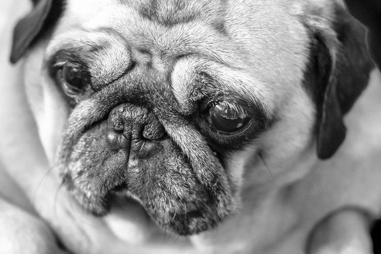 Beautiful, Beauty, Carlino, Close-up, Cute, Dog, Examining, Horizontal, Human Face, Lap Dog, Looking, Piccolo, Pug, Pug-dog, Puppy, Purebred Dog, Sadness, Snout, Staring, Sweet Eyes, Ugliness, Watching, Wrinkled, black and white, mono, Beautiful Beauty Black And White Carlino Close-up Cute Dog Examining Horizontal Human Face Lap Dog Looking Piccolo Pug Pug-dog Puppy Purebred Dog Sadness Snout Staring Sweet Eyes Ugliness  Watching Wrinkled Mono One Animal Animal Pets Canine Domestic Animals Domestic Animal Head