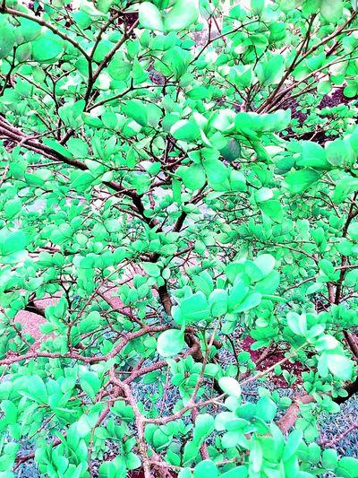 Leaf Leaves Tree Leaves Color Leaf Color Leaves_collection Leaf Collection Pettern Pettern Of Leaves Beautiful Nature Leaves Photography Creative Colour Creative Color On Leaves Beauty Of Leaves Beautiful Leaves Shrub Nature And Color Tree And Colors Leaves And Colors Tree Photography Leaf Photography Color On Tree Beauty Of Nature