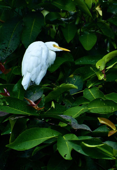 Animal Themes Animal Wildlife Animals In The Wild Beauty In Nature Bird Close-up Day Great Egret Green Color Growth Leaf Nature No People One Animal Outdoors Plant Vietnam White Color