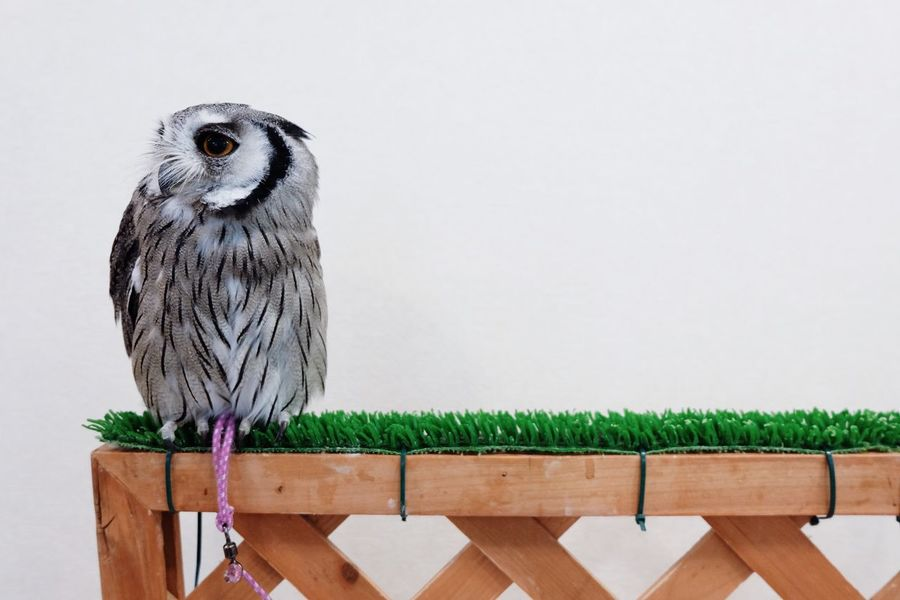 Thinking about life 🦉💭 Animal Themes One Animal Bird Bird Of Prey Animal Wildlife Perching Wood - Material Nature No People Day Owl Pet Thoughts Baby Cute Pets Cute Daydreaming Love EyeEmNewHere Art Is Everywhere Break The Mold Pet Portraits
