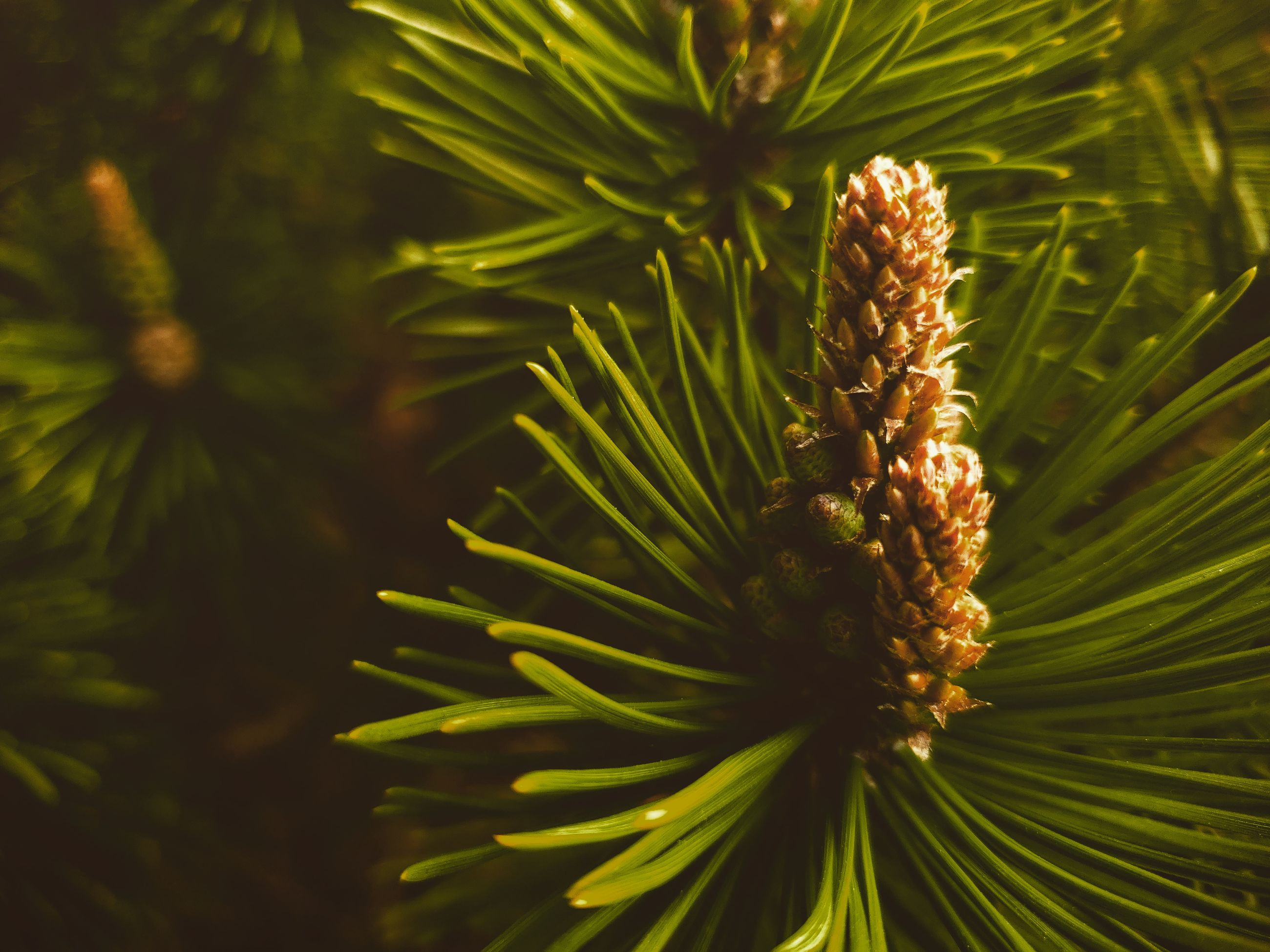 growth, plant, close-up, green color, no people, beauty in nature, nature, day, pine tree, coniferous tree, focus on foreground, needle - plant part, selective focus, outdoors, tree, pinaceae, pine cone, freshness, tranquility, fragility