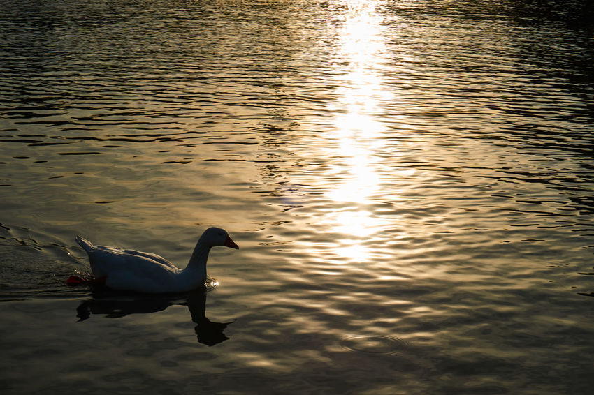 Contrast Silhouette Duck Sunset Reflection Pond Water One Animal Outdoors Nature Day Beauty In Nature Space For Text Space For Copy Alone Lonely Apart