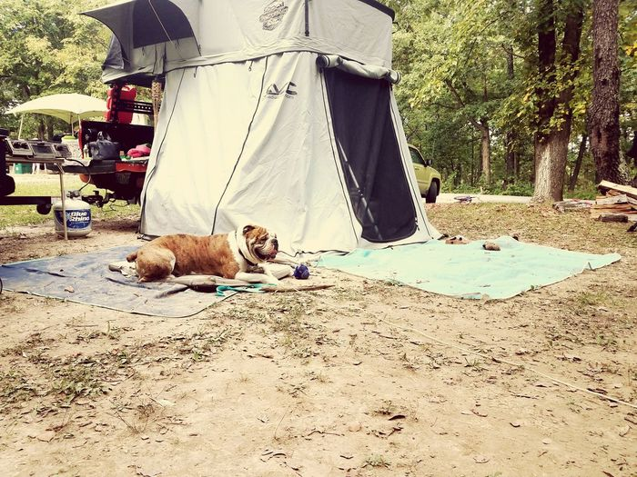 DogLife❤️🐶 Bulldogs Bulldoglove Leisure Activity Camping Life Thelifeisgood Family❤ Beauty In Nature Tacoma Rooftoptent