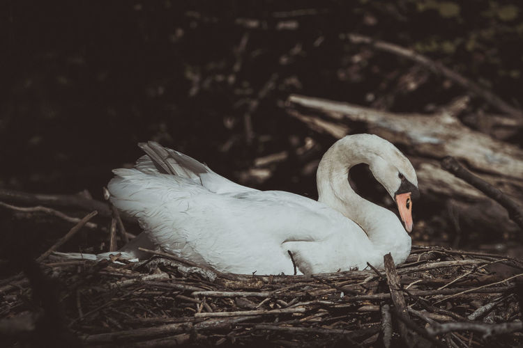 Close-up of swan in nest