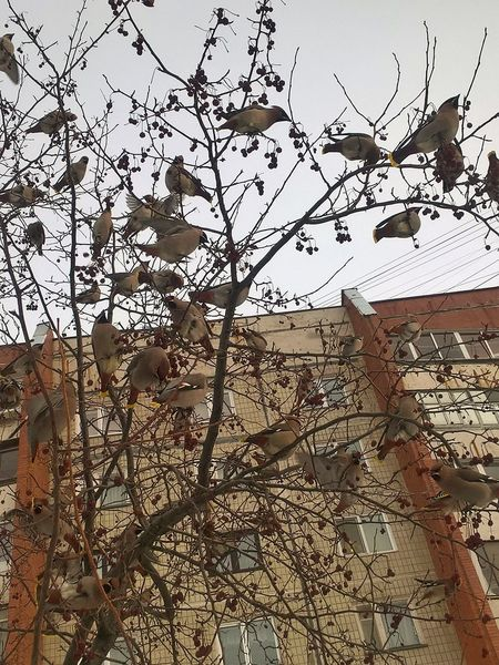 Animal Themes Animal Wildlife Animals In The Wild Architecture Bird Bird Of Prey Branch Building Exterior Built Structure Clear Sky Day Flock Of Birds Large Group Of Animals Low Angle View Nature No People Outdoors Perching Sky Spread Wings Tree Waxwings