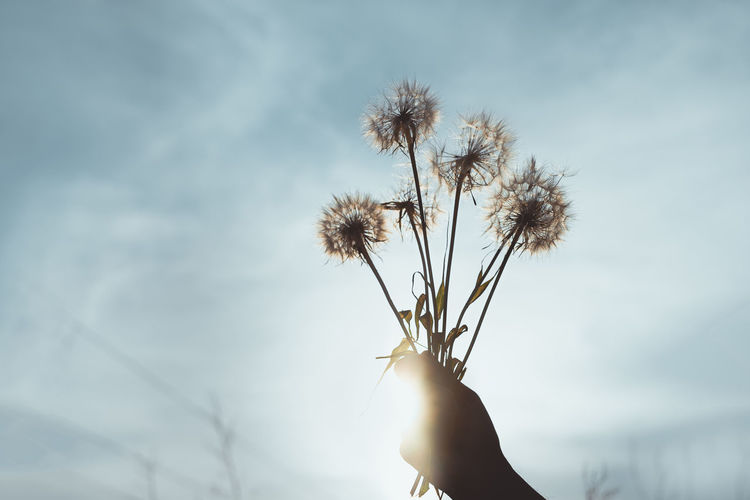 Cropped hand holding dandelions against sky