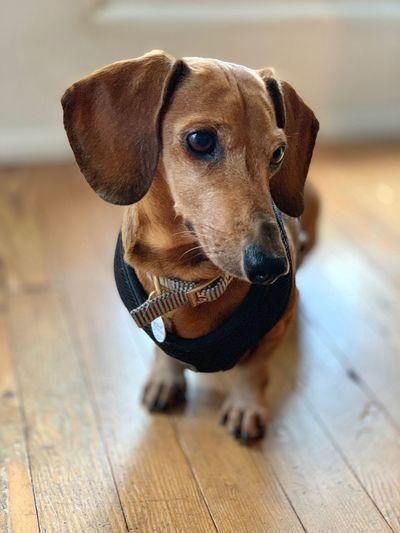 Portrait of dog standing on wooden floor