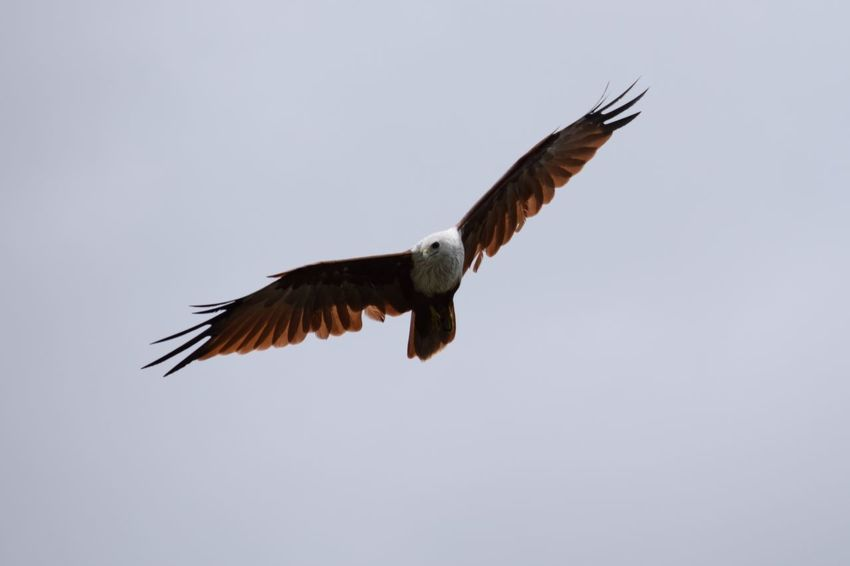 Animal Animal Themes Animal Wing Animals In The Wild Beak Beauty In Nature Bird Brahmani Kite Clear Sky Copy Space Flight Flying Nature No People One Animal Outdoors Spread Wings Wildlife Zoology