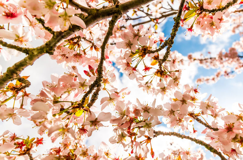 Low angle view of cherry blossoms blooming on tree branches
