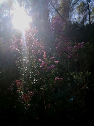 Sun Through Energetic Exciting Glaring Sun Forest Forest Photography Enjoying Life Dreaming Flower Tree Sky In Bloom Sunbeam Shining Plant Life