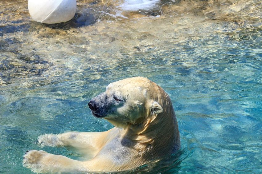 Animal Photography Animal Themes Animals Arctic Bears Day Mamals No People Outdoor Pictures Outdoors Playing Polar Bear Toronto Canada Toronto Zoo Underwater Water Zoo Animals  Zoo Photography