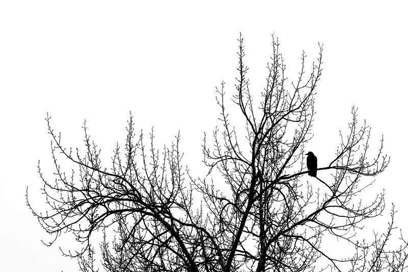 Tree Bird Branch Bare Tree Perching Nature Silhouette Blackandwhite Simplicity Contrast