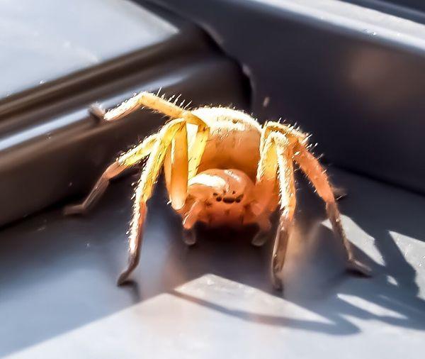 EyeEm Selects Olioswalckernaer Huntsman Arachnid Spider Close Up Animal Wildlife EyeEm Nature Lover Beauty In Nature Animals In The Wild