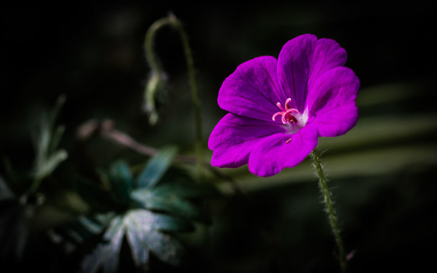 The last flower of the year. Lonely Single Flower Beauty In Nature Blooming Close-up Day Flower Flower Head Focus On Foreground Fragility Freshness Growth Hibiscus Nature No People One Outdoors Petal Plant Purple Purple Flower
