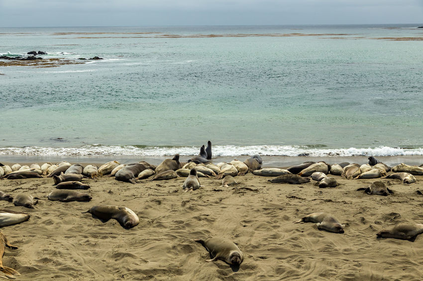 Animal Themes Animal Wildlife Animals In The Wild Beach Beauty In Nature Bird Coastline Day Elephant Seals Large Group Of Animals Nature One Person Outdoors Pacific Coast Pacific Coast Highway Pelican Penguin People Piedras Blancas Scenics Sea Seals Sky Water Wave