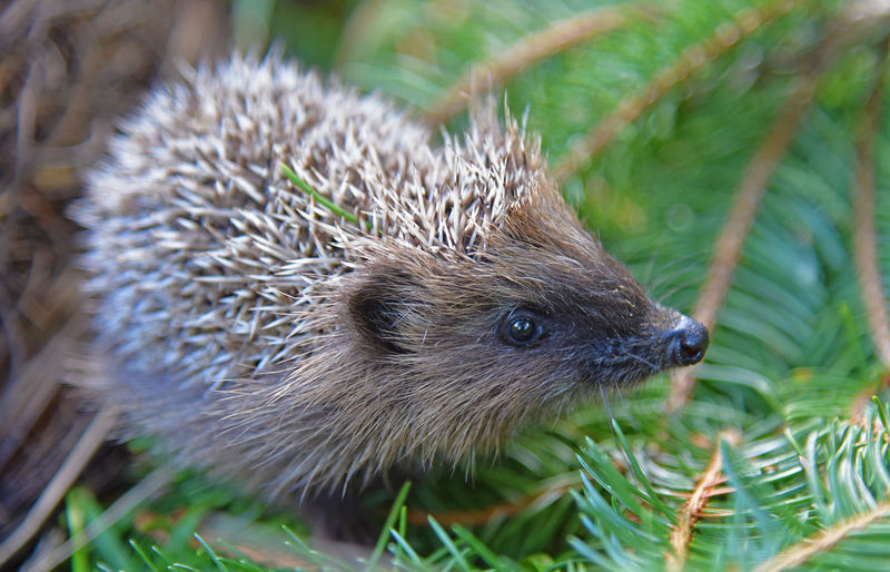 Animal Animal Head  Animal Themes Animal Wildlife Animals In The Wild Close-up Day Focus On Foreground Grass Hedge Hedgehog Hedgehogs Looking Mammal Nature No People One Animal Outdoors Plant Rodent Selective Focus Spiked Vertebrate Whisker A New Beginning EyeEmNewHere Capture Tomorrow