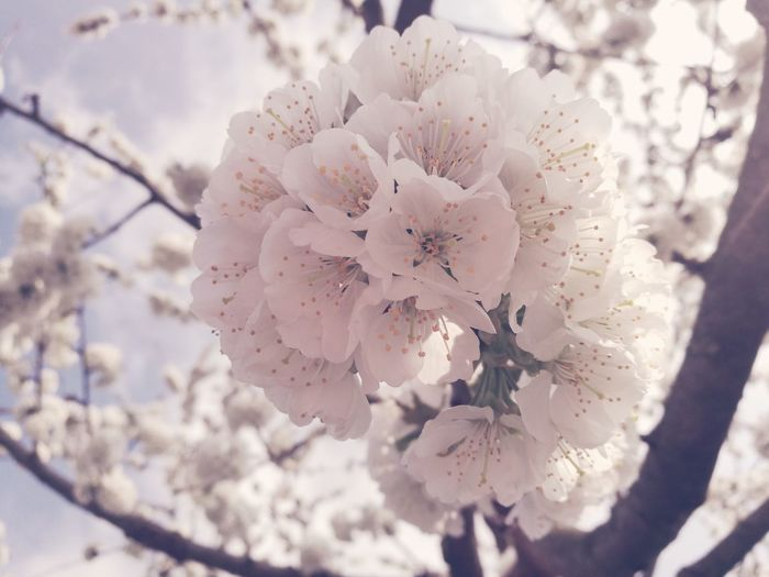 Flower Flower Blossom Nature Beauty In Nature Springtime Close-up Flower Head No People Day Outdoors White Tree