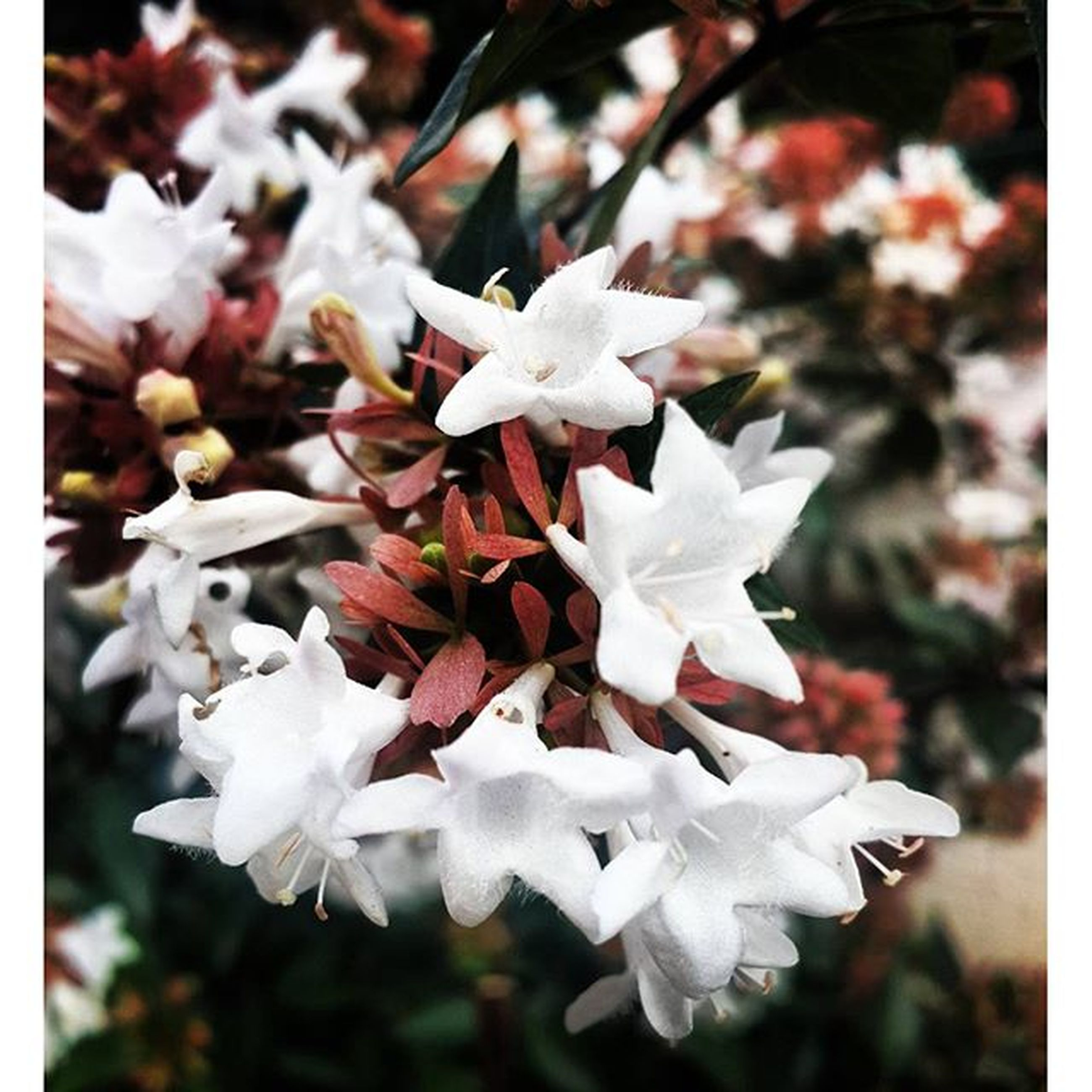 flower, fragility, petal, freshness, focus on foreground, beauty in nature, growth, close-up, white color, nature, flower head, season, transfer print, auto post production filter, in bloom, blooming, blossom, park - man made space, cherry blossom, day