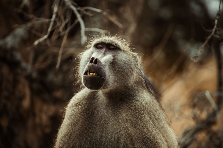 Close-Up Of Baboon Looking Away While Sitting Outdoors