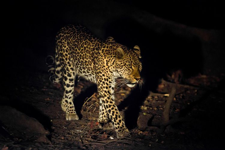 High Angle View Of Leopard On Field At Night