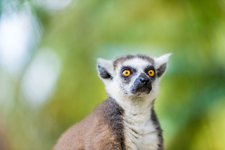 Close-up portrait of lemur sitting on fence