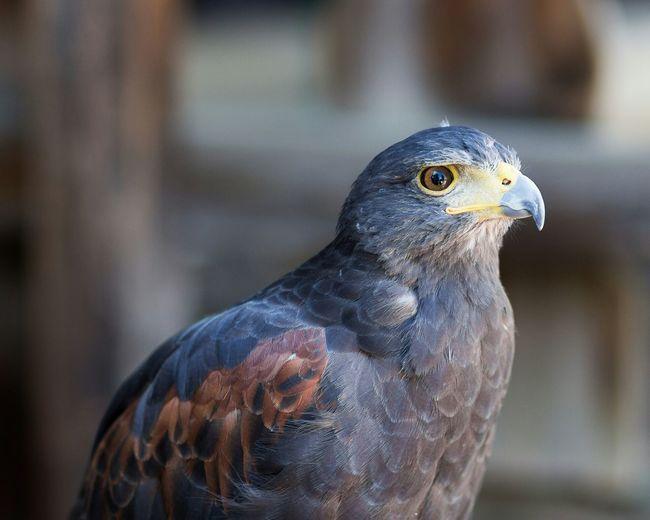 Renaissance Festival Bird Hawk