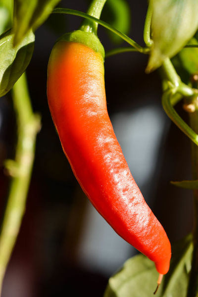 Agriculture Chili Pepper Close-up Food Food And Drink Freshness Fruit Growth Indoors  Jalapeno Mature Nature No People Red