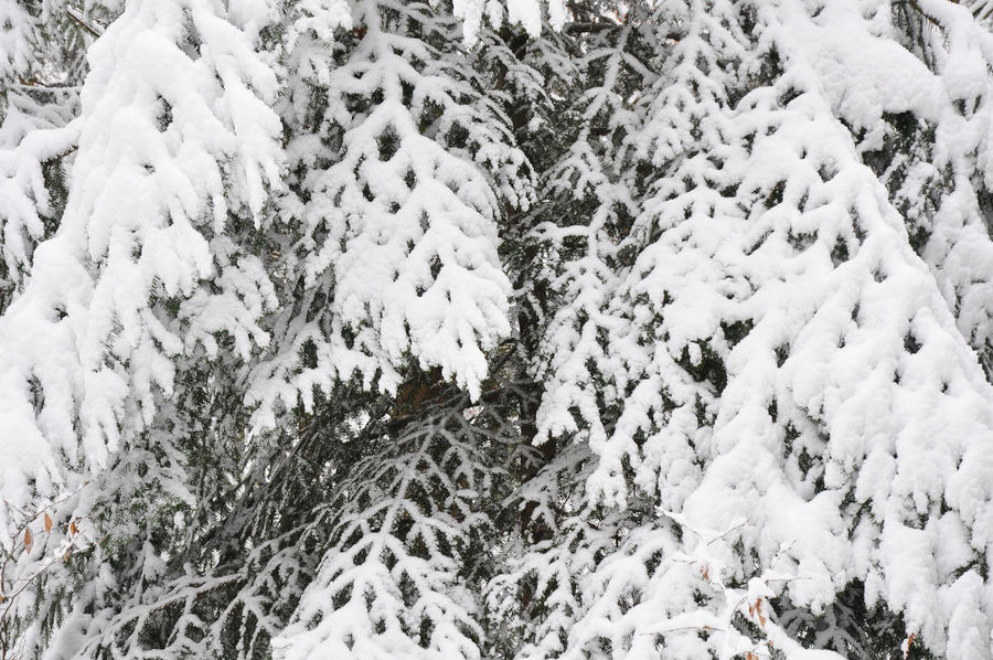 Snow Covered Branch Winter Close-up Cold Temperature Conifers Hoar Frost Nature Pattern Pattern In Nature Snow Weather Winter