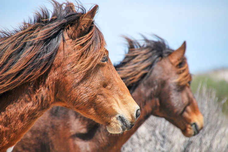 Profile of 2 Chincoteague ponies. Sorry, the other 2 pics got erased. Rural Scene Side View Brown Profile View Horse Close-up Sky Livestock Pony Animal Hair Mane Animal Face Hoofed Mammal