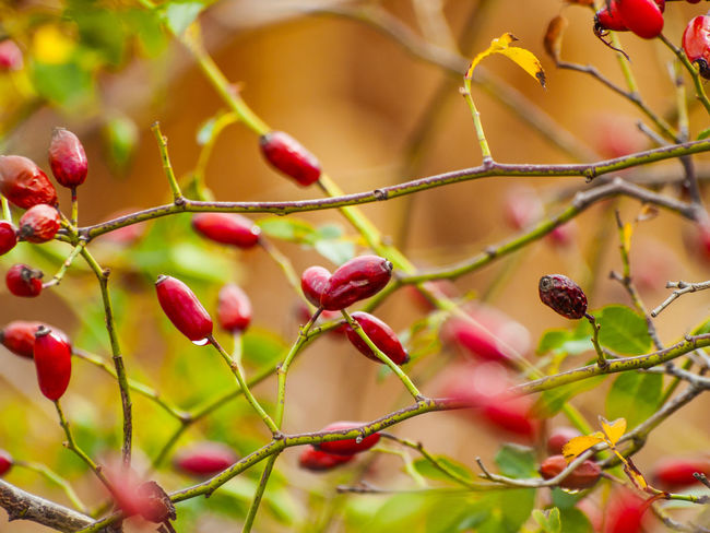Autumn Colors Autumn Fruits Beauty In Nature Branch Ecology Focus On Foreground Food And Drink Freshness Fruit Growth Hip Homeopathy Medicinal Plant Nature Organic Organic Food Outdoors Red Rosa Rosa Canina Rosa Canina Hips Rose Hip Tree Vitamin C Wild Rose