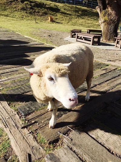 Animal Themes Domestic Animals Mammal Livestock One Animal No People Day Outdoors Close-up Nature 物