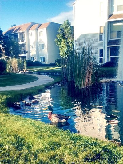 Papa duck watching out for his babies Springisalmostover Rippleeffect Beautiful Nature
