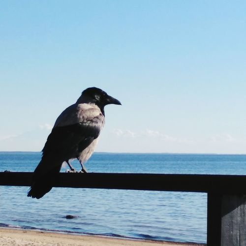 Bird Sea Animal Wildlife Outdoors Water Clear Sky Day Beauty In Nature Sky No People Black And White Raven Crow