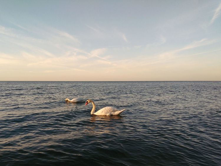 Sea Animal Sunset Horizon Over Water Nature Animal Wildlife Outdoors Vacations Water Beach Swans ❤ Rügen Lovers Ostsee Travel Destinations Mix Yourself A Good Time