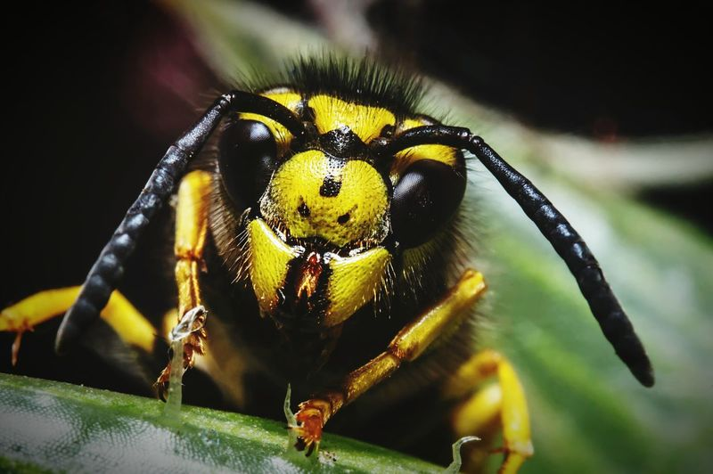 Wasp Wasp Macro Nature Insect Animal Flower