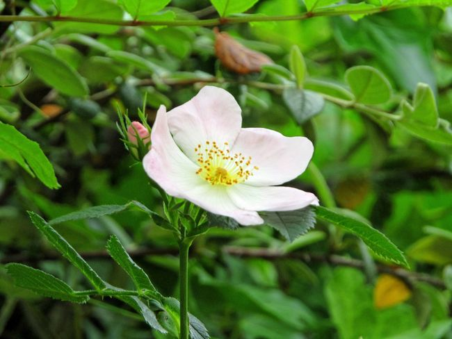 Wild Rose Hedge Row Beauty Nature Photography Nature Nature On Your Doorstep Natures Diversities Yeah Springtime! Relaxing Taking Photos