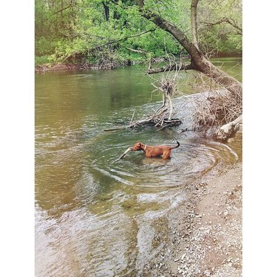 Nora discovered the joys of stinky creek water this weekend. Puppy Pibble Pitbull Pitstagram dogsofinstagram