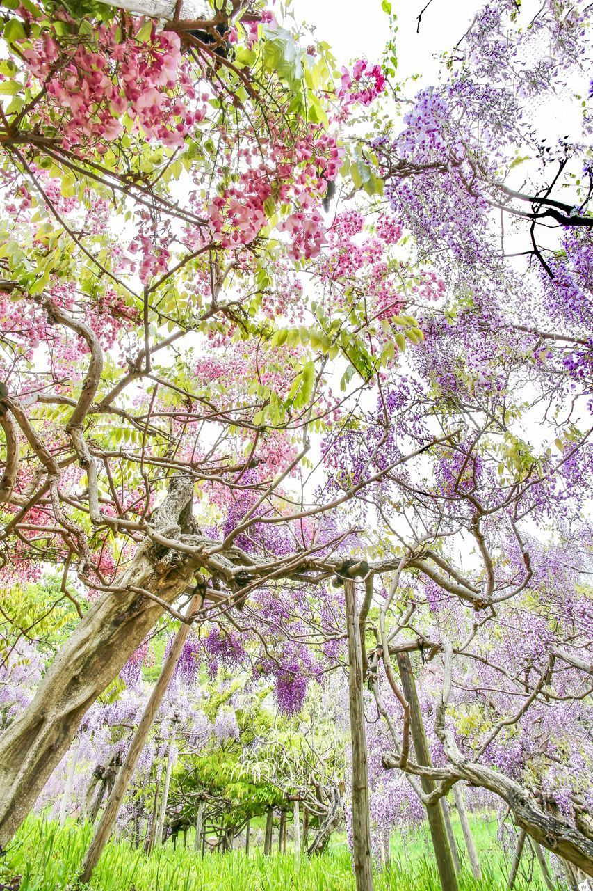 plant, tree, flower, flowering plant, beauty in nature, branch, growth, blossom, fragility, pink color, freshness, springtime, vulnerability, nature, day, no people, low angle view, cherry blossom, park, outdoors, cherry tree, purple, spring