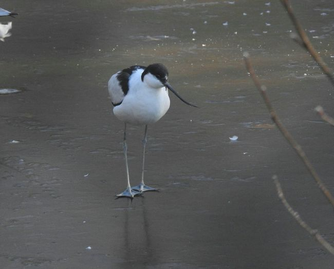 Pied Avocet Recurvirostra Avestta Bird Sand EyeEm Best Shots Beauty In Nature Animals Hello World Check This Out Photography From My Point Of View Beautiful Naturelovers Portrait Turkey Nature Photography Germany Doğa EyeEm Bird Photography Nature Outdoors Outdoor Photography Taking Photos Animal Themes