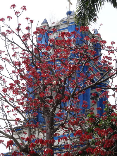 Architecture Blossom Blue Church Coloresdemexico Contrast Contrasting Colors Flame Tree Iglesia Mexico Mexicolors Mexiko Morelos Multi Colored Palm Tree Pueblo Red And Blue