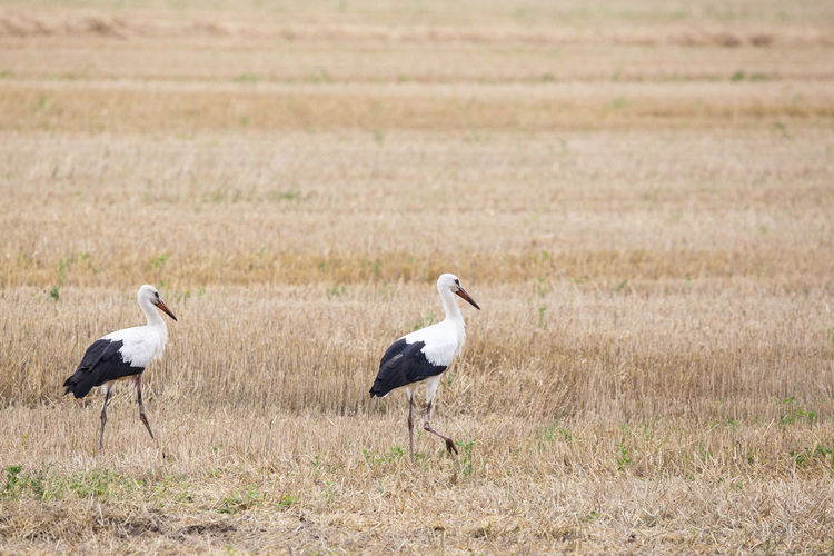 White storks in field