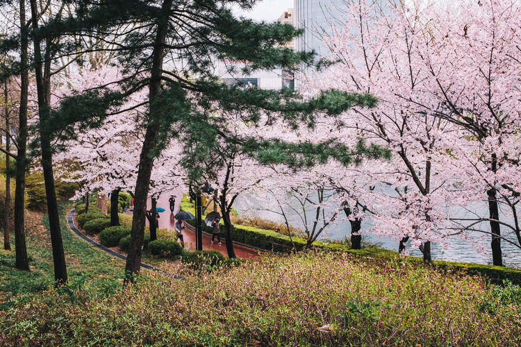 View of cherry trees in park
