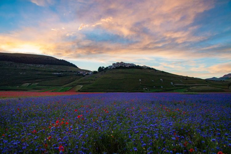 Scenic view of flowering plants on field against sky during sunset