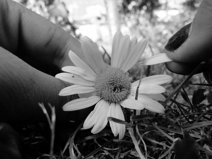 Flowers Blackandwhite Black And White Black & White Fleurs Marguerite Paquerettes Love Amour Black White Photography Feelings