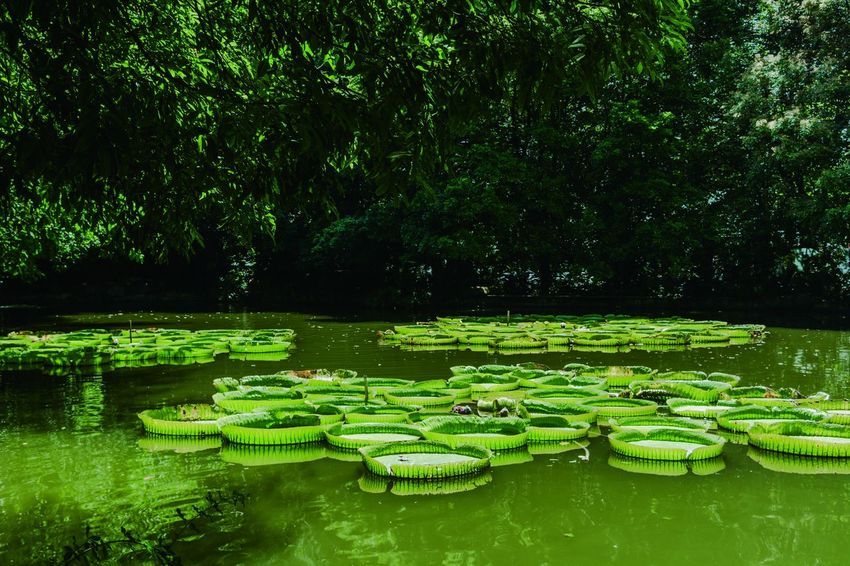 Beauty In Nature Day Floating Floating On Water Freshness Grass Green Color Growth Lake Leaf Lily Pad Lotus Water Lily Nature No People Outdoors Plant Reflection Scenics Tranquil Scene Tranquility Tree Water Water Lily Waterfront 南宁青秀山
