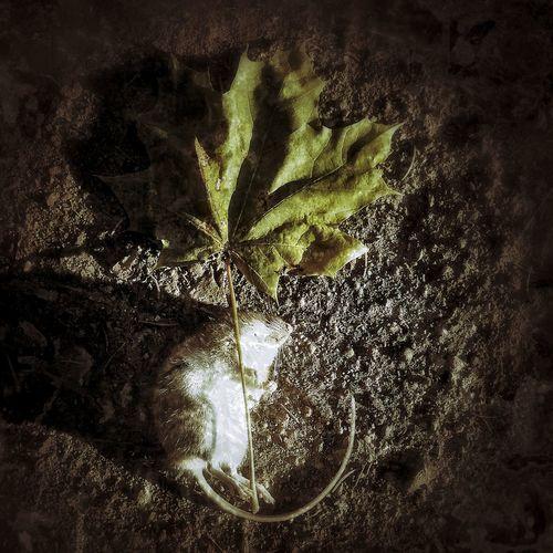 About Death Death Mouse Autumn Macabre