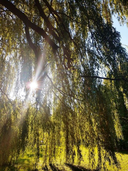Under the Willow tree Willow Tree Willow No People Lens Flare Green Yellow Buffalo, NY Tree Branch Sunlight Forest Backgrounds Sunbeam Sky Shining Leaves Sun Sunrays Leaf Woods Growing
