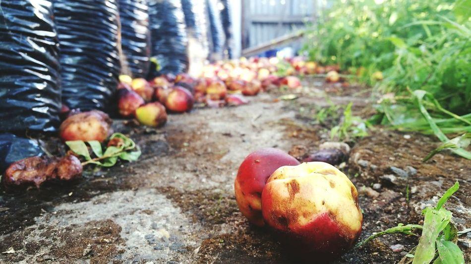 Nectarine Fallen Fallen Fruits Fallen Fruit On The Ground On The Floor Path Fruit Fruits