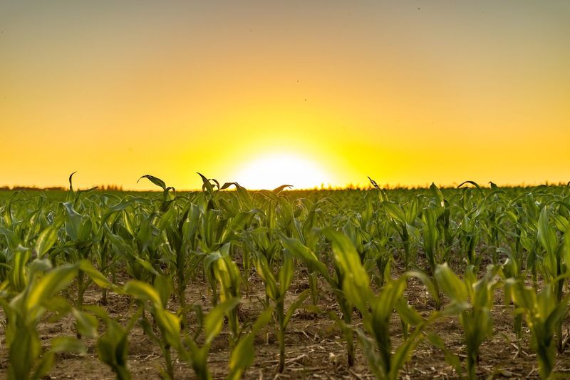 Sunset Field Tranquil Scene Scenics Tranquility Growth Landscape Beauty In Nature Rural Scene Plant Grass Nature Crop  Agriculture Sun Green Color Idyllic Vibrant Color Farm Surface Level