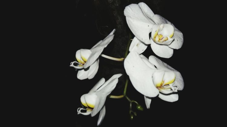 Flower Black Background Flower Head Studio Shot Petal Freshness Close-up No People Fragility Night Nature